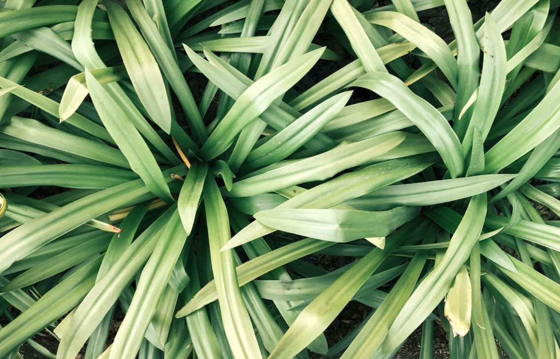 レモングラスの葉