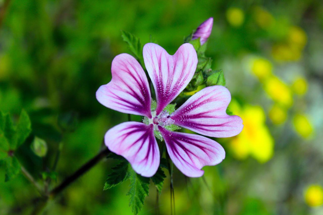 アロマオイルゼラニウムの花