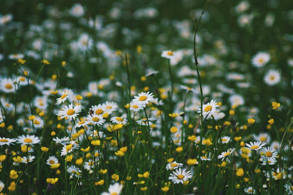 カモミールの花畑