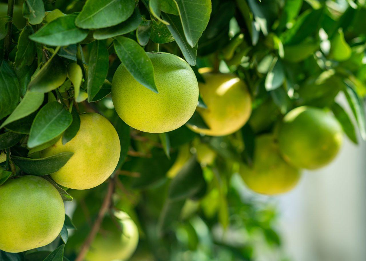 グレープフルーツの木になる実