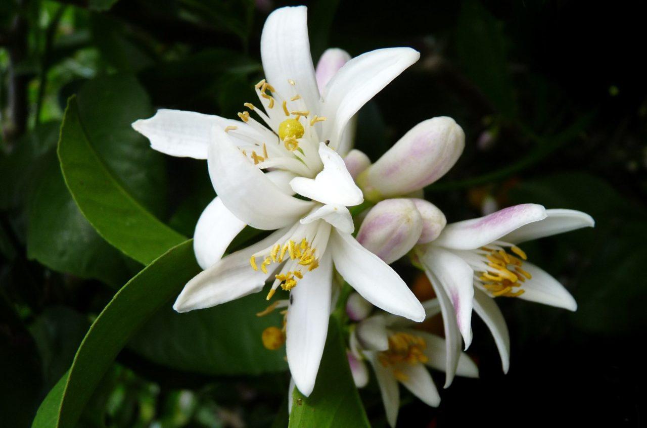 ネロリの白い花